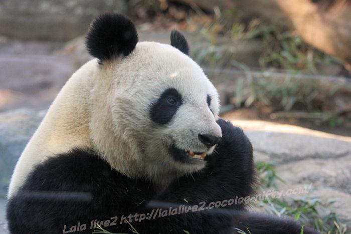 Giantpanda201501201