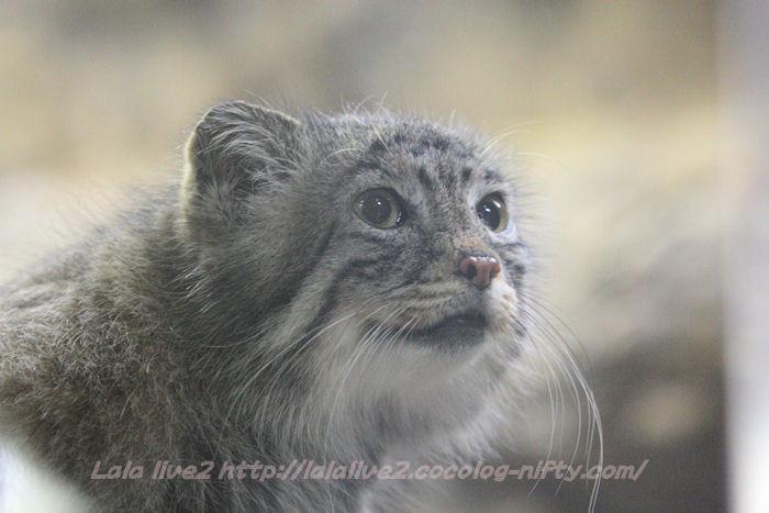 Pallas_cat201501201