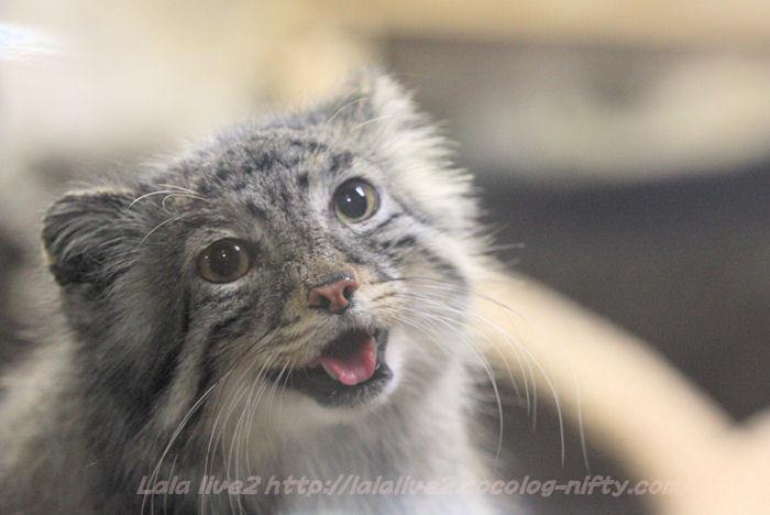 Pallas_cat201501202