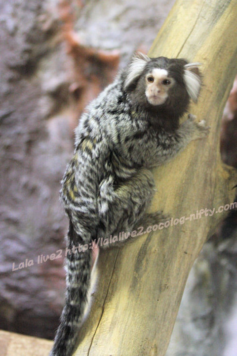 Commonmarmoset20150120