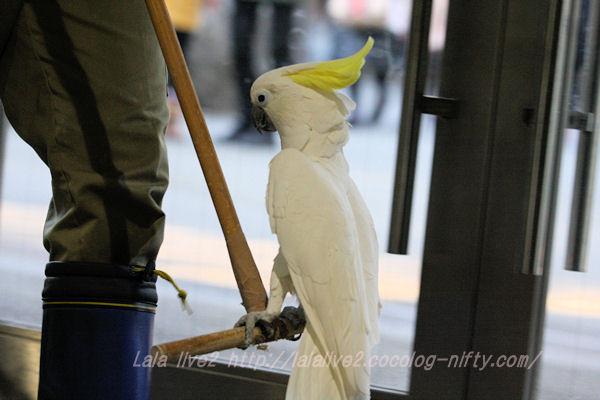 Sulphurcrested_cockatoo20150120