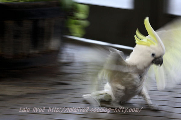 Sulphurcrested_cockatoo201501201