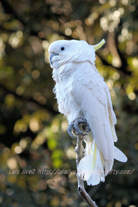 Sulphurcrested_cockatoo201501202