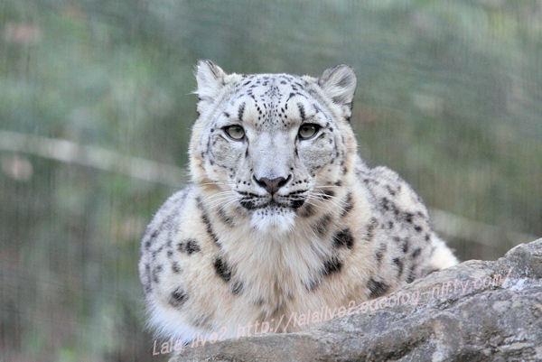 Snowleopard201412151