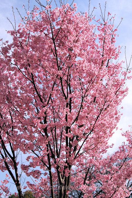 Sakura201503281