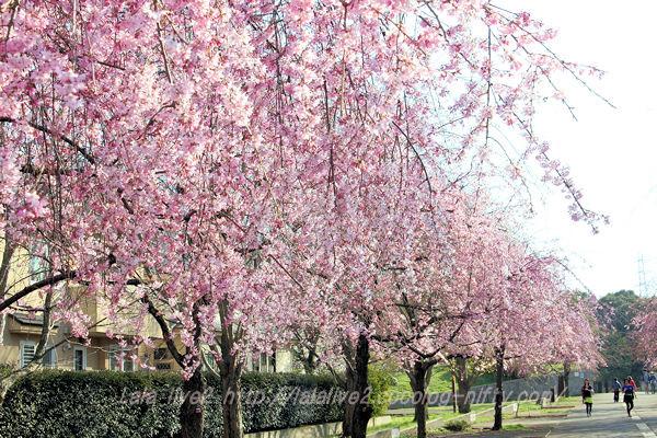 Sakura201503283