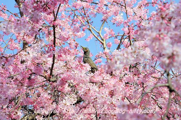 Sakura201503284