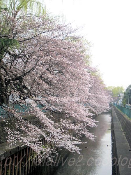 2011sakura