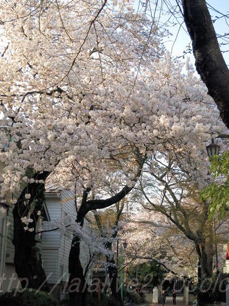 Cherry_blossom20150331