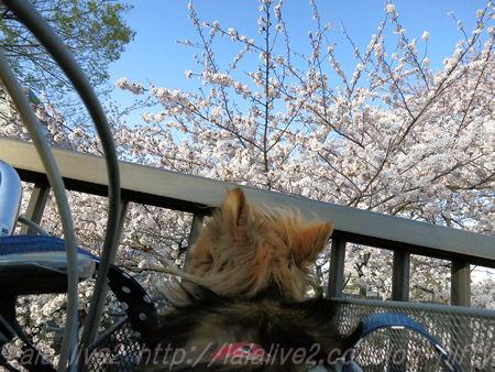 Cherry_blossom201503314