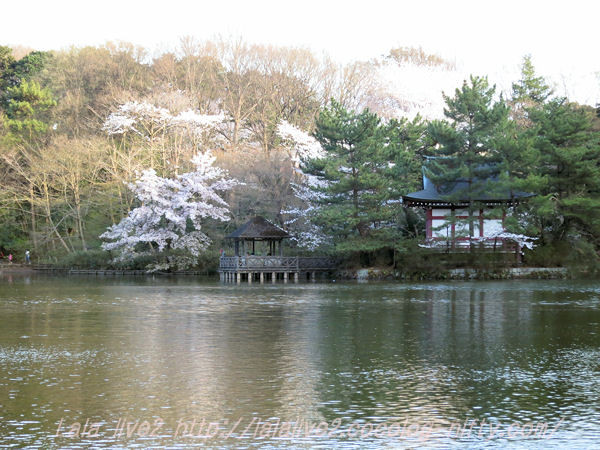Cherry_blossom201503315