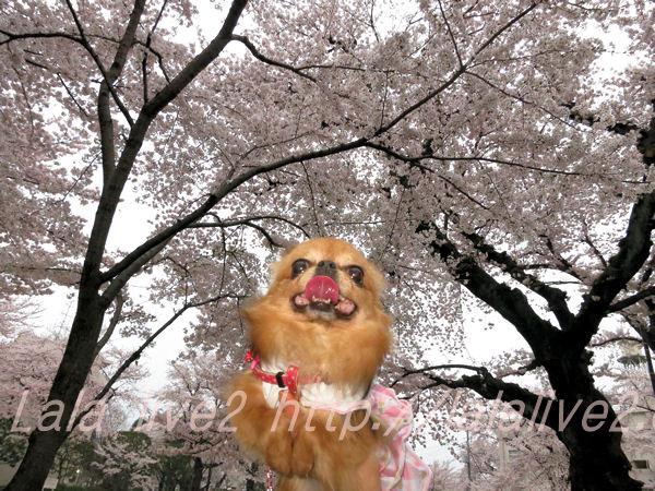 Sakura20150401