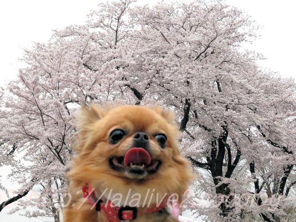 Sakura201504011