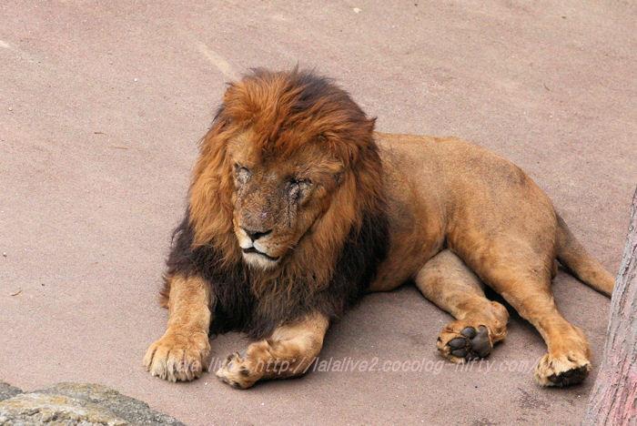Lion20150421