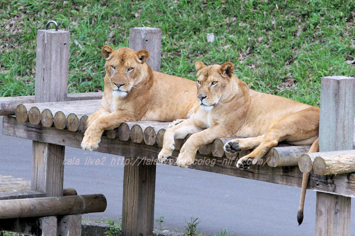 Lionesses20150421
