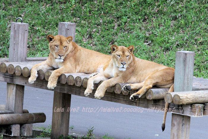 Lionesses201504211