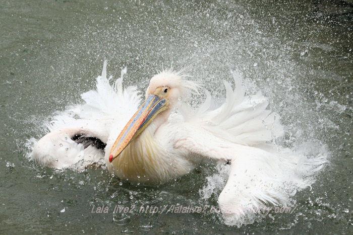 Pelican201504213