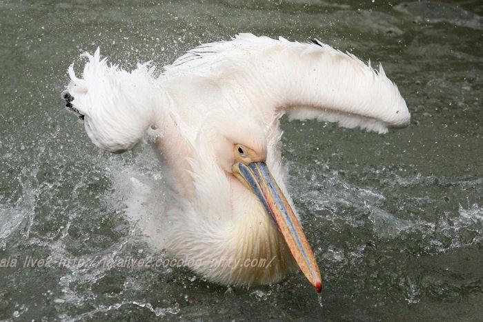 Pelican201504215