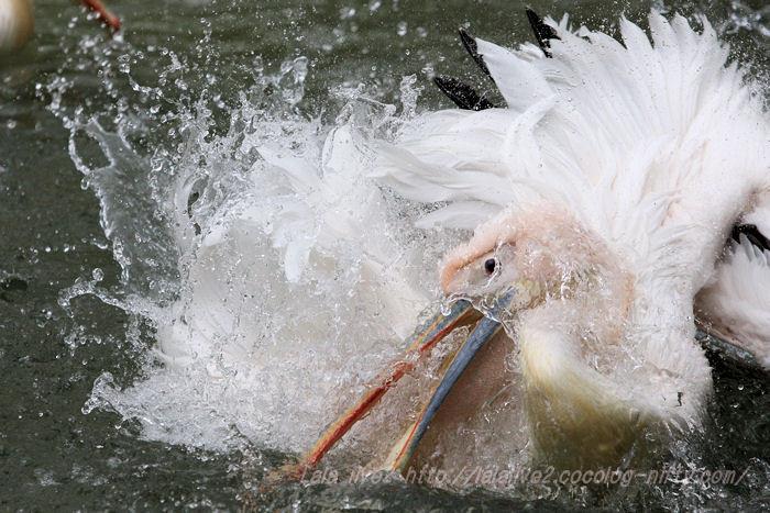 Pelican201504216