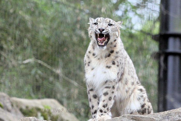 Snowleopard201504212