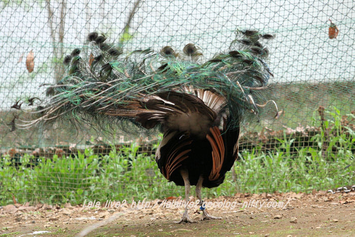 Peacock201504211