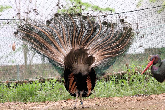 Peacock201504212