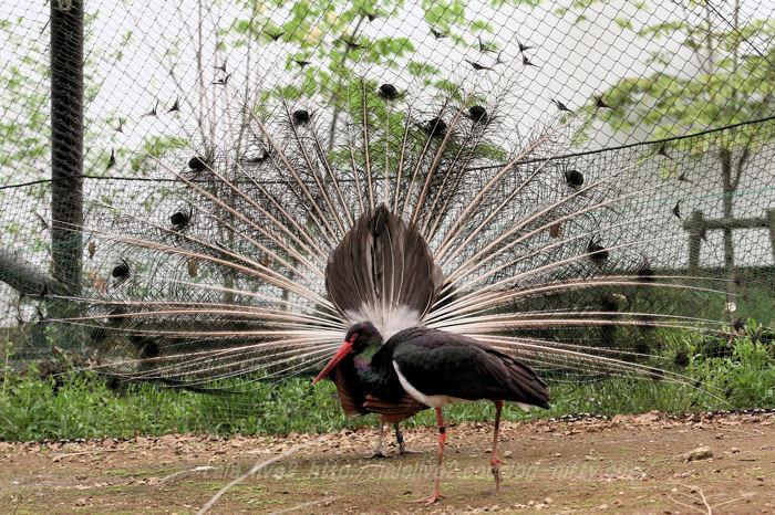 Peacock201504213