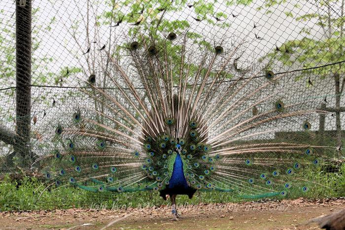 Peacock201504215