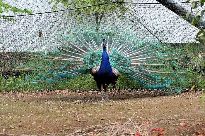 Peacock201504216