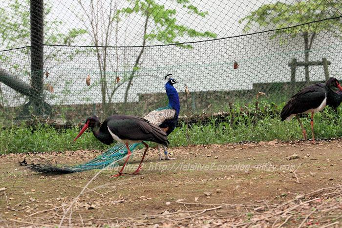 Peacock201504218