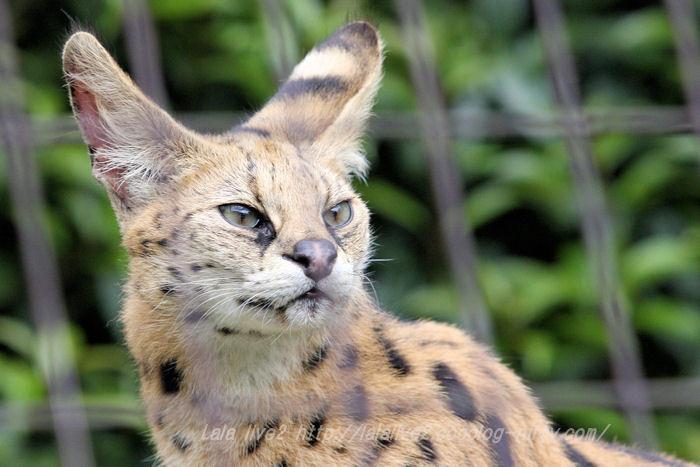 Serval201504213