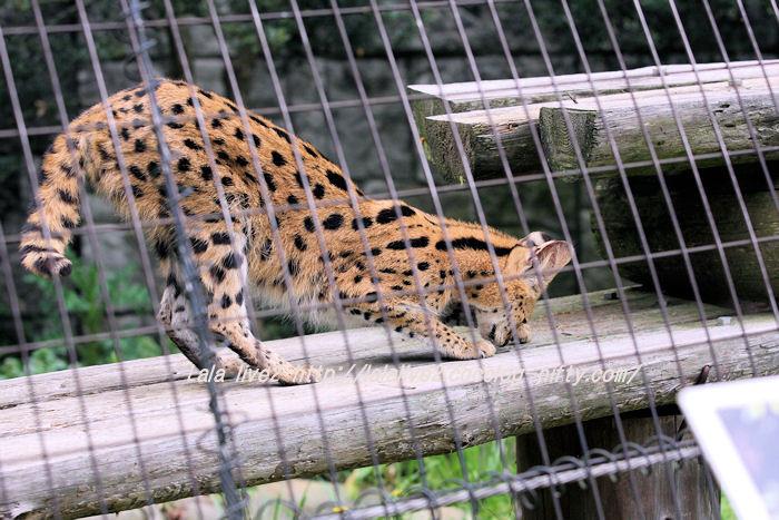 Serval201504214