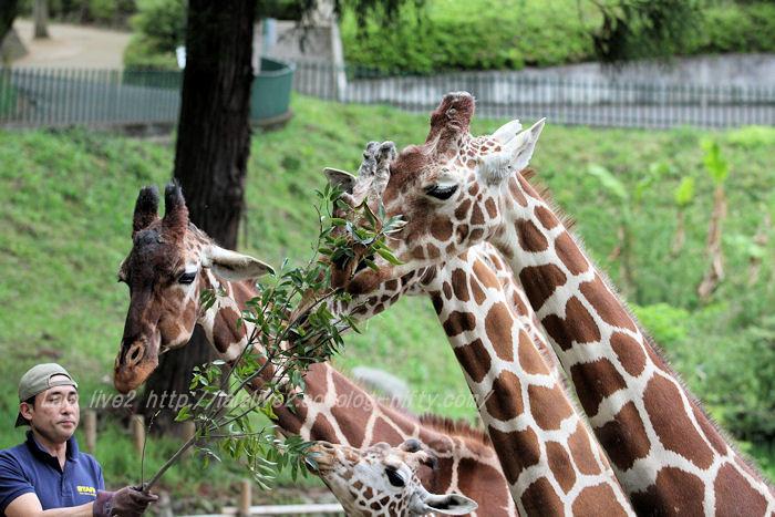 Giraffes20150421