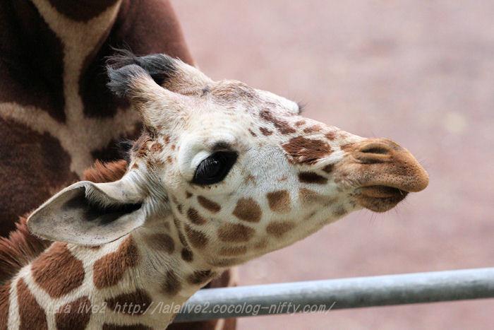 Giraffes201504211