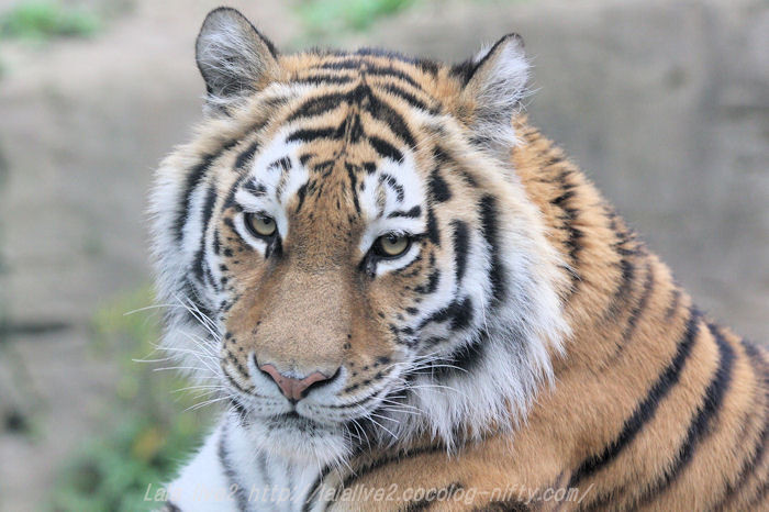 Tigerai20150421