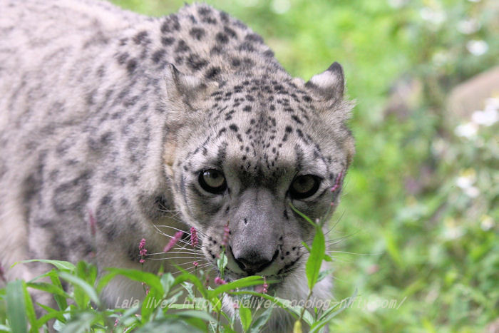 Snowleopard201506081
