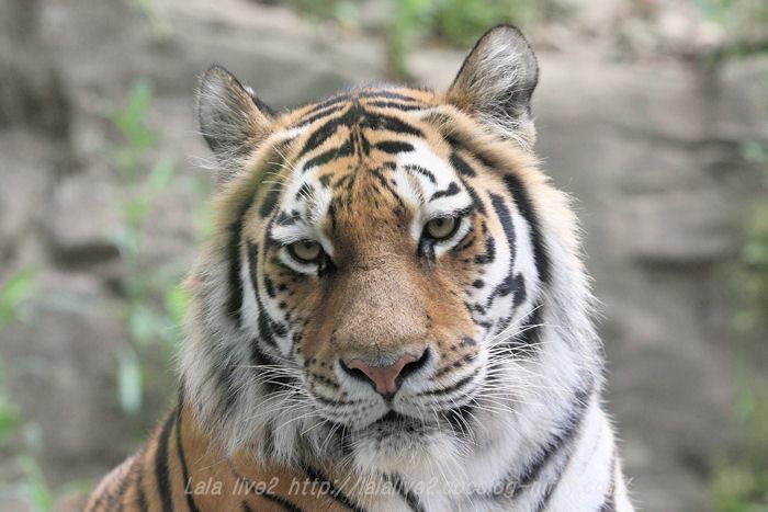 Tiger201506083