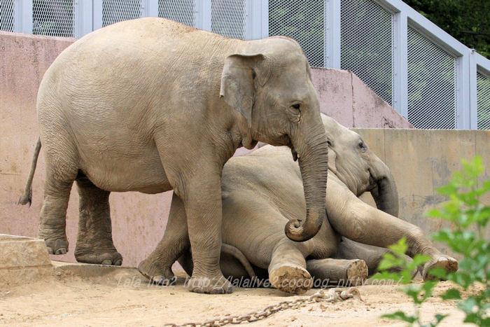 Elephants201506082