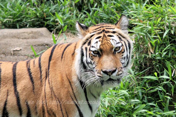 Tiger201506084