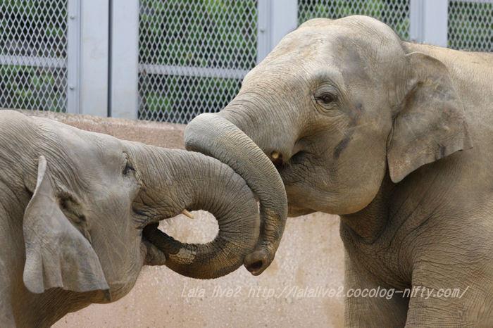 Elephants201506084