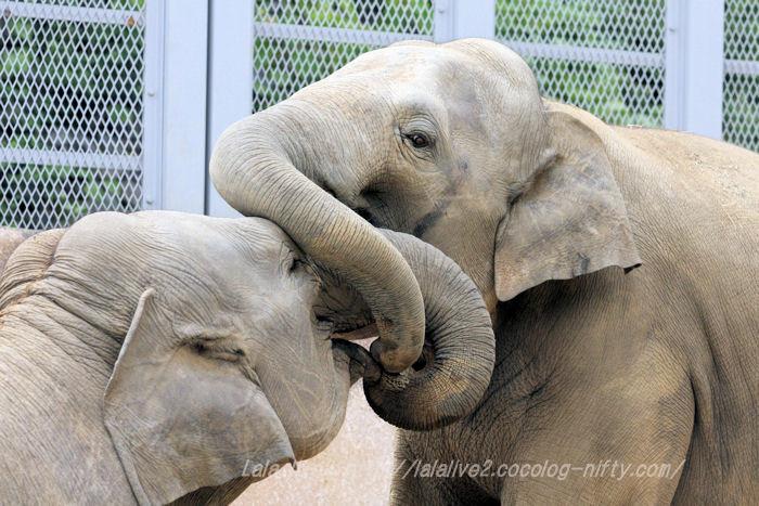 Elephants201506085