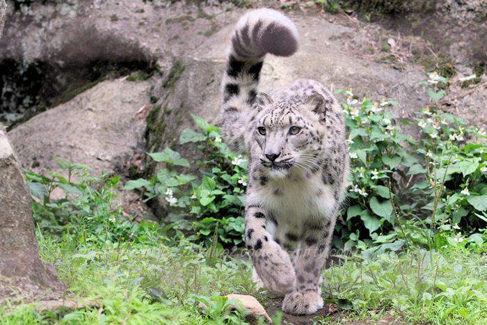 Snowleopard201506082