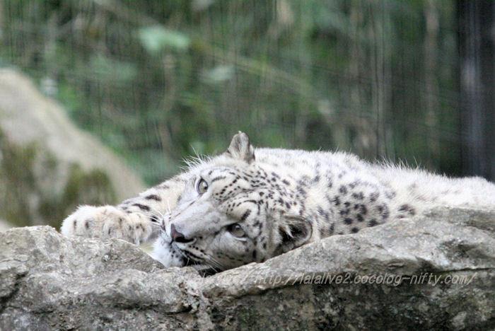 Snowleopard201506085