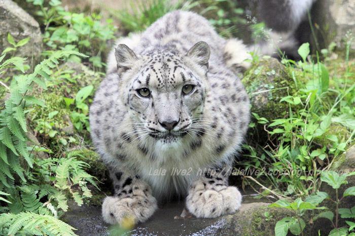Snowleopard201506086