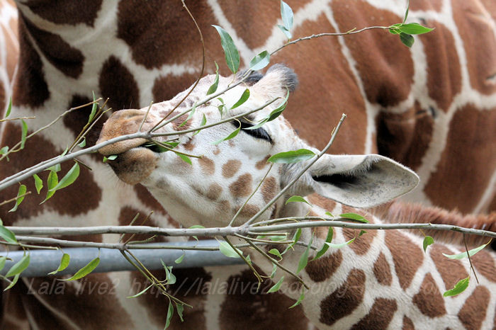 Giraffes201504213
