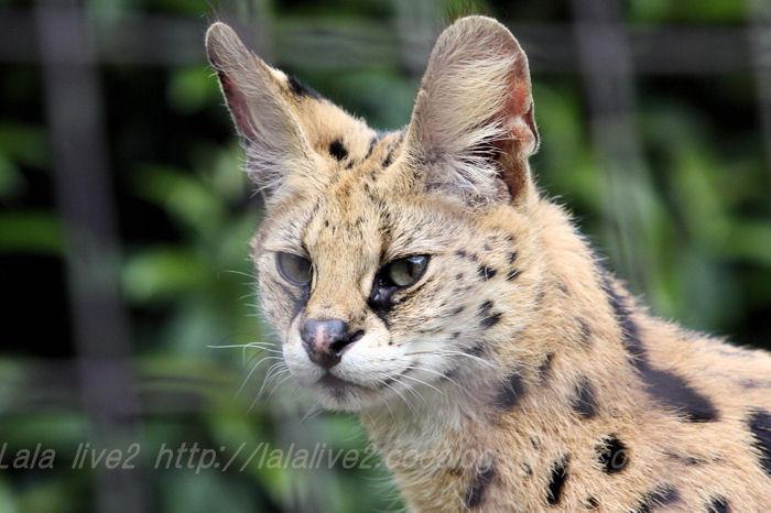 Serval201504215
