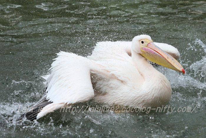 Pelican2015042110