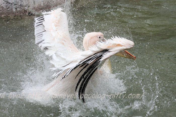Pelican201504218