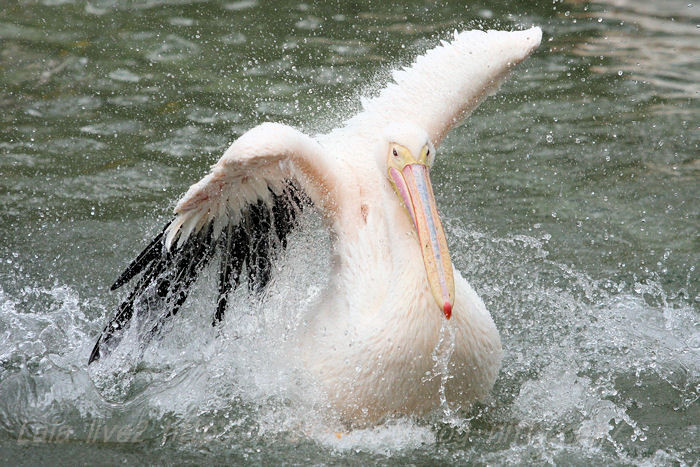 Pelican201504219