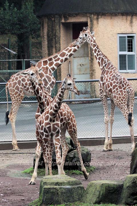Giraffes20150831